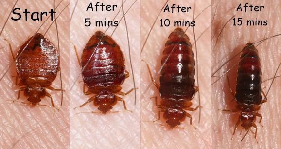 Bed Bug Feeding Cycle